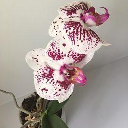 shykarnaya krupno tsvetutsaya orhideya