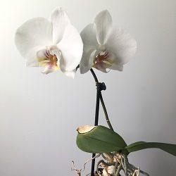 prodazha sortovoy krupno tsvetutsey orhidei