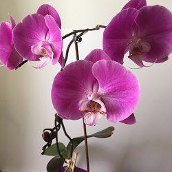 prodazha shykarnoy krupnotsvetutsey orhidei
