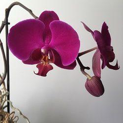 prodazha sortovoy krupnotsvetutsey orhidei