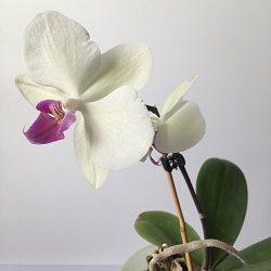 prodazha detki krupnotsvetutsey orhidei